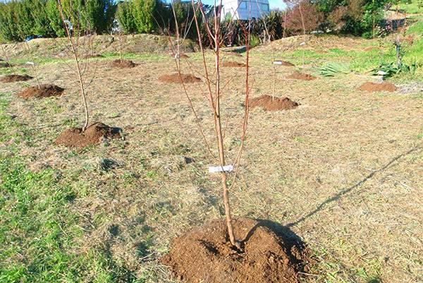 расстояние теплицы от плодовых деревьев