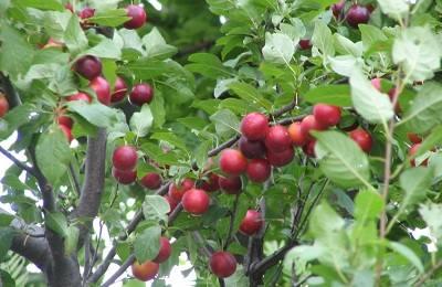 Сливово-вишневый гибрид: что это за сорт?