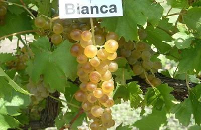Виноград Бианка: характеристика и описание сорта, посадка и уход